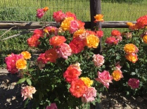 Gorgeous roses in the vineyards